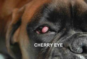 Cherry_eye1